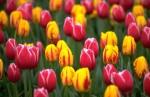 Praca przy kwiatach w Holandii
