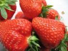 Oferty pracy przy zbiorach truskawek w Holandii