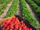 Oferty pracy przy zbiorach truskawek w Niemczech
