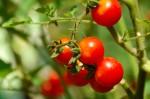 Praca przy zbiorach pomidorów w Holandii