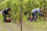 Praca przy zbiorach winogron w Niemczech