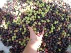 Praca przy zbiorach oliwek we Włoszech