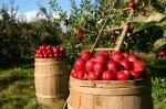 Praca przy zbiorach jabłek w Anglii