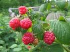 Praca przy zbiorach owoców w Norwegii