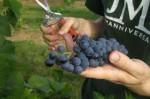 Praca przy zbiorze winogron we Francji