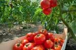 Praca przy zbiorach warzyw w Niemczech