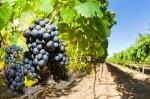 Praca przy zbiorach winogron we Włoszech