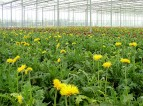 Praca przy kwiatach w Holandii – gerbery