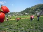 Oferty pracy przy zbiorach truskawek w Norwegii