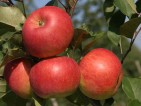 Praca przy zbiorach jabłek – gruszek w Niemczech