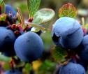 Praca sezonowa w Norwegii przy zbiorach owoców