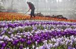 Praca przy zbiorach kwiatów w Holandii