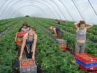 Praca przy zbiorach truskawek w Anglii