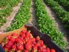 Od zaraz praca przy zbiorach truskawek w Holandii