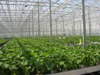 Praca w Norwegii przy zbiorach warzyw