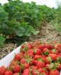 Praca sezonowa w Danii przy zbiorach truskawek