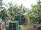 Praca przy zbiorach owoców – warzyw w Anglii i Szkocji