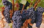 Oferta pracy przy zbiorach winogron w Hiszpanii