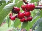 Praca przy zbiorach wiśni i czereśni w Anglii – UK