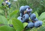 Oferty pracy w Norwegii przy zbiorze owoców