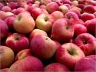 Praca sezonowa we Włoszech przy zbiorach jabłek
