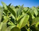 Sezonowa praca we Francji przy zbiorach tytoniu