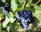 Sezonowa praca przy zbiorach winogron w Szwecji