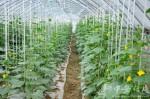 Praca przy zbiorach warzyw w Holandii