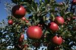 Praca w Holandii przy zbiorach jabłek