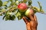 Sezonowa praca we Francji przy zbiorach jabłek