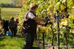 Winobranie praca w Niemczech – zbiory winogron