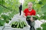 Holandia praca w Szklarni przy zbiorach ogórków