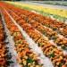 Oferty –  praca przy kwiatach w Niemczech