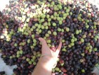 Oferta pracy – Zbiór oliwek Hiszpania – Włochy