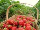Oferty – Praca w Anglii przy zbiorach owoców