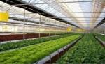 Anglia – praca przy zbiorach warzyw w Szklarni