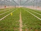 Praca we Francji – zbiory warzyw w Szklarni
