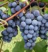 Praca sezonowa w Hiszpanii przy zbiorach winogron