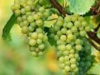 Praca w Norwegii przy zbiorze winogron – od zaraz