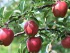 Praca w Niemczech przy zbiorach jabłek od zaraz