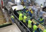 Praca w Holandii przy sortowaniu, pakowaniu warzyw i owoców
