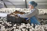 Praca we Francji przy zbiorach pieczarek na hali – od zaraz