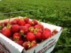 Praca na zbiorach warzyw i owoców w Holandii na rok 2013