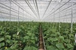 Ogrodnictwo – praca przy zbiorach ogórków w Holandii 2013