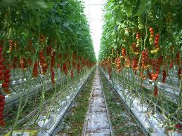 Farms Growing Raspberries Plants Under Glass