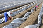 Praca przy zbiorach szparagów – Niemcy lub Francja 2013