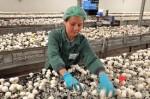 Niemcy praca przy zbiorze pieczarek – sortowanie od marca 2013