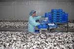 Sezonowa praca w Holandii przy zbiorach pieczarek – luty 2013