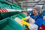 Praca przy szparagach w Holandii – zbiory, sortowanie i pakowanie