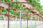 Holandia praca – zbiory truskawek w szklarni od zaraz